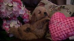 Lola, chien Golden Retriever