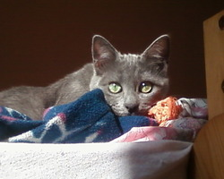 Lola, chat Bleu russe