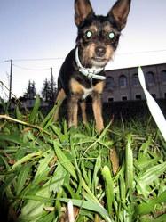 Lola, chien Pinscher