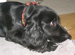 Lola, chien Cocker anglais