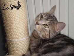 Lola, chat Européen