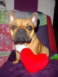 H'Lola, chien Bouledogue français