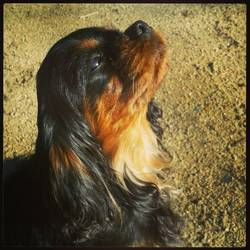 Lola, chien Cavalier King Charles Spaniel
