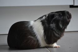 Lola , rongeur Cochon d'Inde