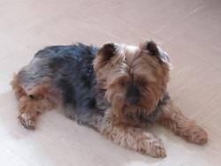 Lola, chien Yorkshire Terrier