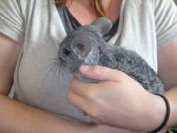 Lola , rongeur Chinchilla