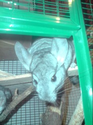 Lola, rongeur Chinchilla