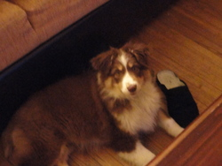 Lola, chien Berger australien