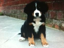 Lola, chien Bouvier bernois