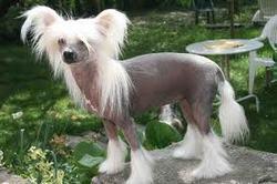Lola, chien Chien chinois à crête
