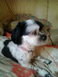 Lola, chien Shih Tzu