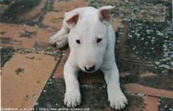 Lola, chien Bull Terrier