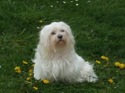 Lola, chien Bichon maltais