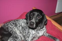 Lola, chien Braque d'Auvergne