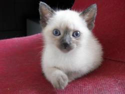 Lola, chat Siamois