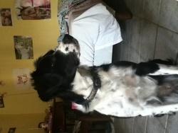 Lola, chien Border Collie