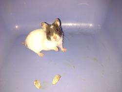 Lola, rongeur Hamster