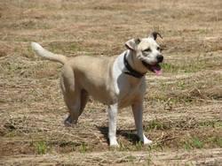 Lola, chien Bulldog