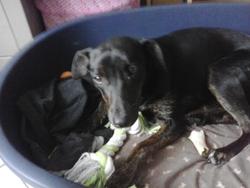 Lola , chien Labrador Retriever