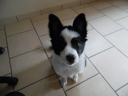 Lola, chien Border Collie