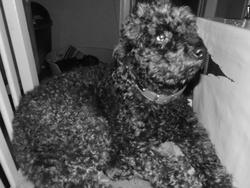 Lola, chien Caniche