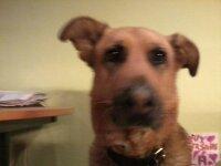 Lola, chien Berger allemand