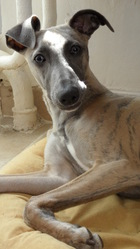 Lola, chien Whippet
