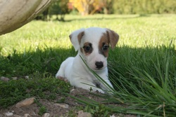 Lola, chien Jack Russell Terrier