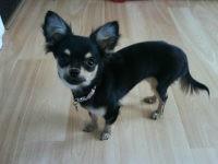 Lola Au Paradis, chien Chihuahua