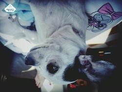 Lola, chien Chihuahua