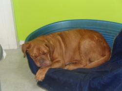Lola, chien Dogue de Bordeaux