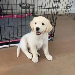 Lola, chiot Golden Retriever