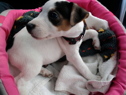 Lola, chien Jack Russell Terrier