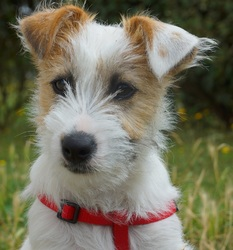 Loli, chien Jack Russell Terrier