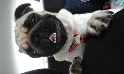 Lolie, chien Carlin