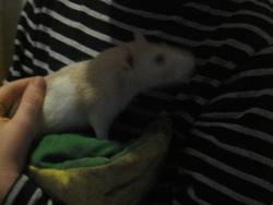 Lolie Pop, rongeur Rat
