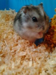 Lolipop, rongeur Hamster