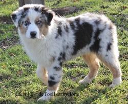 Lolipop, chien Berger australien