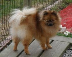 Lolipop, chien Spitz allemand