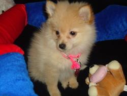 Lolita, chien Spitz allemand