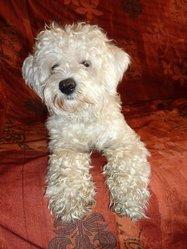Lolita , chien Bichon à poil frisé