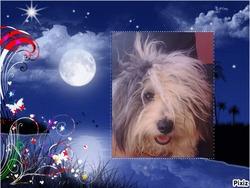 Lolita, chien Bichon havanais