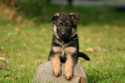 Lolita, chien Berger allemand