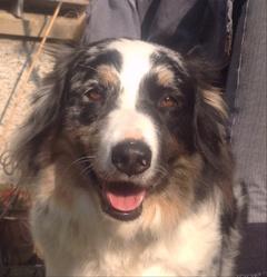 Lolita, chien Berger australien
