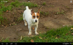 Lolita, chien Jack Russell Terrier