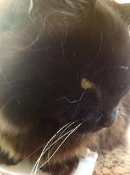 Lolita, chat Gouttière