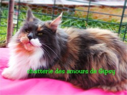 Lolita, chat Maine Coon