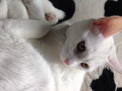 Lolitta, chat Angora turc