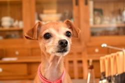 Lollie, chien Chihuahua