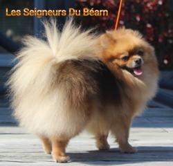 Lollipop De La Grande Equinoxe, chien Spitz allemand